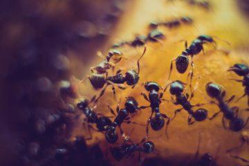 Ameisen gegen Zimt